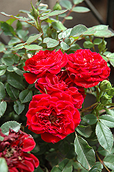 Red Sunblaze® Rose (Rosa 'Meirutral') at Martin's Home and Garden