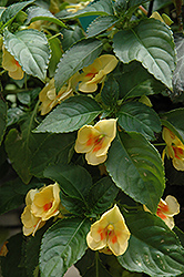 Fusion Glow Yellow Impatiens (Impatiens 'Fusion Glow Yellow') at Martin's Home & Garden