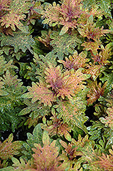Limon Blush Coleus (Solenostemon scutellarioides 'Limon Blush') at Martin's Home & Garden