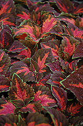 Superfine Rainbow Festive Dance Coleus (Solenostemon scutellarioides 'Rainbow Festive Dance') at Martin's Home and Garden