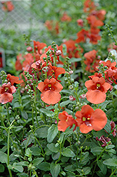 Juliet Orange Twinspur (Diascia 'Juliet Orange') at Martin's Home & Garden
