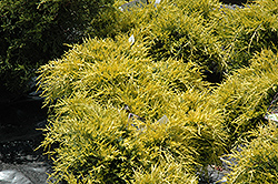 Sea Of Gold Juniper (Juniperus x media 'Sea Of Gold') at Martin's Home & Garden