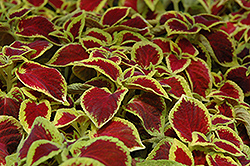 Wizard Scarlet Coleus (Solenostemon scutellarioides 'Wizard Scarlet') at Martin's Home and Garden