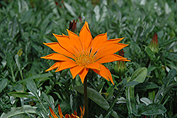 New Day Clear Orange Gazania (Gazania 'New Day Clear Orange') at Martin's Home and Garden