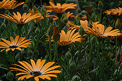 Orange Symphony African Daisy (Osteospermum 'Orange Symphony') at Martin's Home and Garden