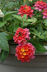 Landmark Sunrise Rose Lantana (Lantana camara 'Landmark Sunrise Rose') at Martin's Home & Garden