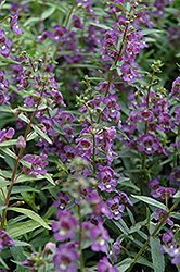 Alonia Dark Blue Angelonia (Angelonia angustifolia 'Alonia Dark Blue') at Martin's Home and Garden