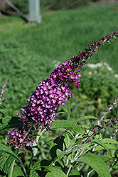 Buzz Pink Purple Butterfly Bush (Buddleia 'Buzz Pink Purple') at Martin's Home & Garden