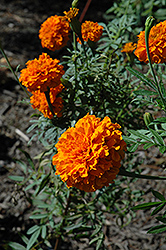 Jedi Orange Marigold (Tagetes erecta 'Jedi Orange') at Martin's Home & Garden