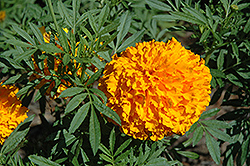 Bali Orange Marigold (Tagetes erecta 'Bali Orange') at Martin's Home and Garden