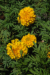 Jedi Deep Gold Marigold (Tagetes erecta 'Jedi Deep Gold') at Martin's Home & Garden