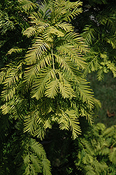 Gold Rush Dawn Redwood (Metasequoia glyptostroboides 'Gold Rush') at Martin's Home & Garden