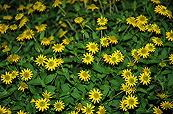 Sunvy Top Gold Creeping Zinnia (Sanvitalia procumbens 'Sunvy Top Gold') at Martin's Home and Garden
