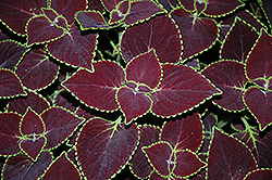 Broadway Coleus (Solenostemon scutellarioides 'Broadway') at Martin's Home and Garden