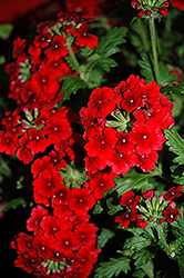 Empress™ Flair Red Verbena (Verbena 'Empress Flair Red') at Martin's Home & Garden