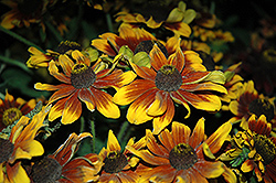 Chocolate Orange Coneflower (Rudbeckia hirta 'Chocolate Orange') at Martin's Home & Garden
