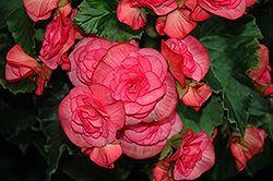 Solenia® Dusty Rose Begonia (Begonia 'Solenia Dusty Rose') at Martin's Home & Garden