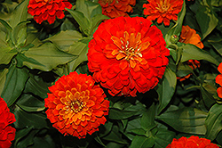 Dreamland Scarlet Zinnia (Zinnia 'Dreamland Scarlet') at Martin's Home and Garden
