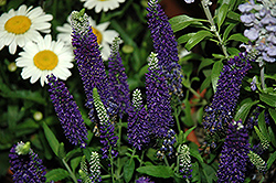Vernique® Dark Blue Speedwell (Veronica longifolia 'Vernique Dark Blue') at Martin's Home and Garden