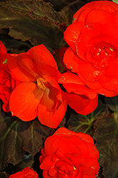 Nonstop® Mocca Deep Orange Begonia (Begonia 'Nonstop Mocca Deep Orange') at Martin's Home & Garden