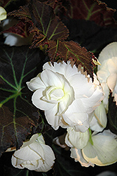 Nonstop® Mocca White Begonia (Begonia 'Nonstop Mocca White') at Martin's Home & Garden