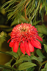 Double Scoop™ Cranberry Coneflower (Echinacea 'Balscanery') at Martin's Home and Garden