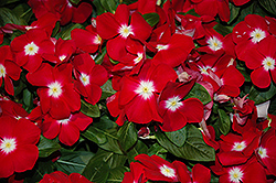 Sunstorm Red Halo Vinca (Catharanthus roseus 'Sunstorm Red Halo') at Martin's Home & Garden