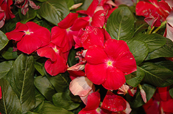 Cora® Cascade Cherry Vinca (Catharanthus roseus 'Cora Cascade Cherry') at Martin's Home and Garden