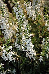 Sungelonia® White Angelonia (Angelonia angustifolia 'Sungelonia White') at Martin's Home and Garden