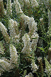 Buzz Ivory Butterfly Bush (Buddleia 'Tobuivo') at Martin's Home and Garden