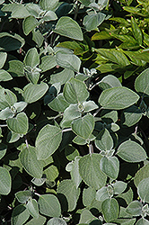 Silver Shield Plectranthus (Plectranthus argentatus 'Silver Shield') at Martin's Home and Garden