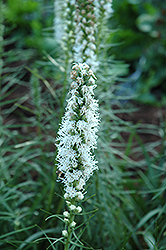 White Blazing Star (Liatris spicata 'Alba') at Martin's Home and Garden
