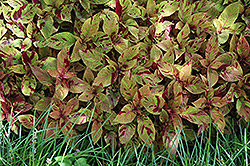 Premium Sun Mighty Mosaic Coleus (Solenostemon scutellarioides 'Mighty Mosaic') at Martin's Home and Garden