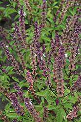Thai Basil (Ocimum basilicum 'Thai') at Martin's Home & Garden