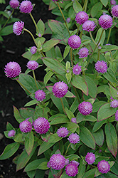 Audray Pink Gomphrena (Gomphrena 'Audray Pink') at Martin's Home & Garden