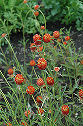 Qis Orange Gomphrena (Gomphrena 'Qis Orange') at Martin's Home & Garden