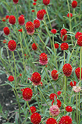 Qis Red Gomphrena (Gomphrena 'Qis Red') at Martin's Home and Garden