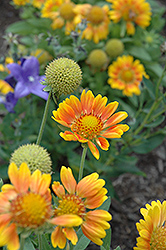 Mesa Peach Blanket Flower (Gaillardia x grandiflora 'Mesa Peach') at Martin's Home and Garden