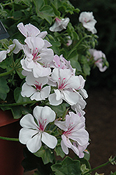 Precision White Red Eye Ivy Leaf Geranium (Pelargonium peltatum 'Precision White Red Eye') at Martin's Home and Garden