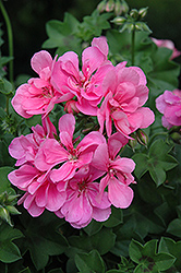 Precision Light Pink Ivy Leaf Geranium (Pelargonium peltatum 'Precision Light Pink') at Martin's Home & Garden