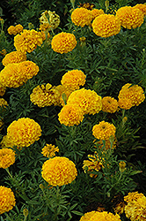 Lady Gold Marigold (Tagetes erecta 'Lady Gold') at Martin's Home & Garden