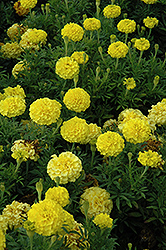 Lady First Marigold (Tagetes erecta 'Lady First') at Martin's Home & Garden