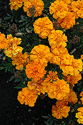 Cresta Orange Marigold (Tagetes patula 'Cresta Orange') at Martin's Home and Garden