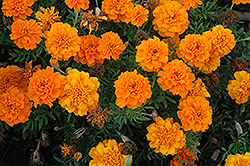 Cresta Deep Orange Marigold (Tagetes patula 'Cresta Deep Orange') at Martin's Home and Garden