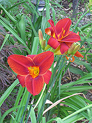 Big Red Daylily (Hemerocallis 'Big Red') at Martin's Home & Garden