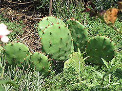 Prickly Pear Cactus (Opuntia humifusa) at Martin's Home and Garden