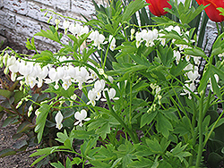 White Bleeding Heart (Dicentra spectabilis 'Alba') at Martin's Home & Garden