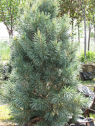 Vanderwolf's Pyramid Pine (Pinus flexilis 'Vanderwolf's Pyramid') at Martin's Home and Garden