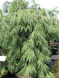 Weeping White Pine (Pinus strobus 'Pendula') at Martin's Home and Garden