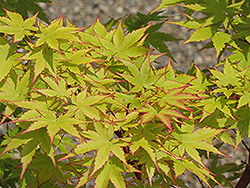 Coral Bark Japanese Maple (Acer palmatum 'Sango Kaku') at Martin's Home and Garden